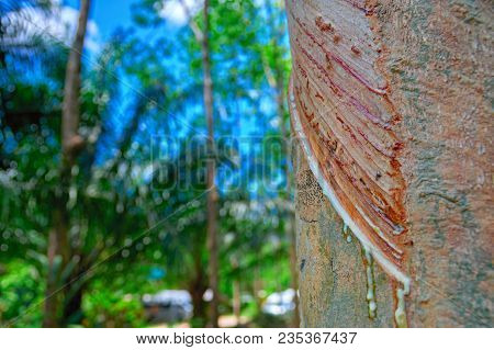 Trickles And Drops Of Latex Flow Down The Tree Trunk. Concept Of Collecting Latex From Hevea Tree. C