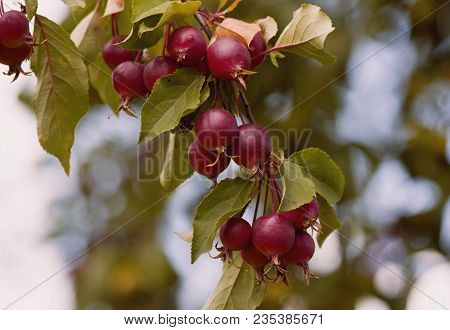 Apples Tree Branch. Fresh Organic Apples Tree Branch In The Orchard. Harvest Season Concept With App