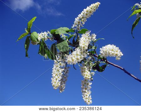 Bird Cherry Native To Northern Europe And Northern Asia. Closeup Of Bird Cherry, Brightly Backlit Ag