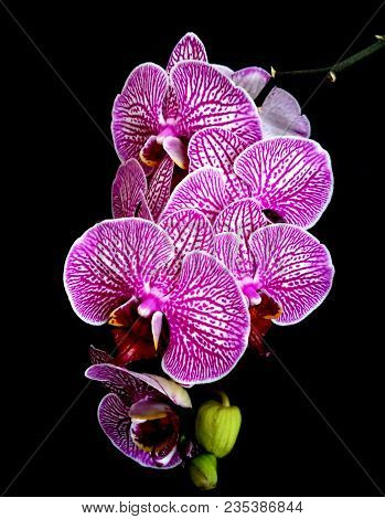 Purple Phalaenopsis Orchid Flower. Orchid Or Purple Phalaenopsis Is Queen Of Flowers In Thailand. Cl