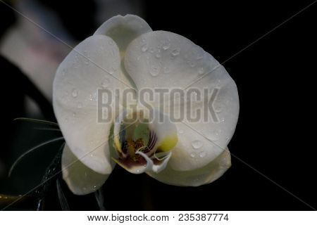 White Phalaenopsis Orchid Flower. Orchids And Olso White Phalaenopsis Queen Of Flowers In Thailand.