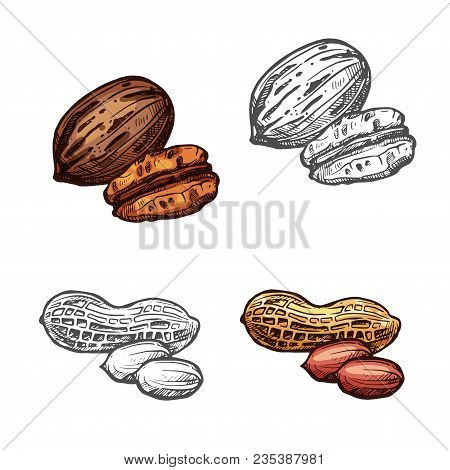 Nut And Bean Isolated Sketch With Peanut And Pecan. Whole And Peeled Mexican Nut Kernel And Groundnu