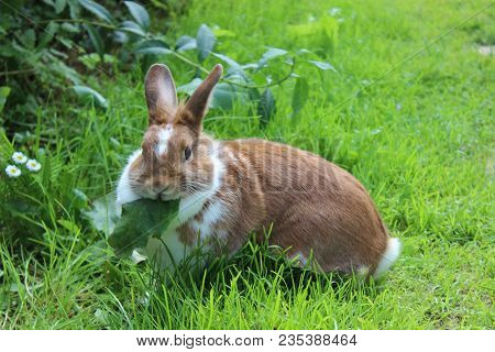 Rabbit Sitting On Meadow And Eating Leaf. Close Up Bunny Eating Rabbit On The Green Background. Red