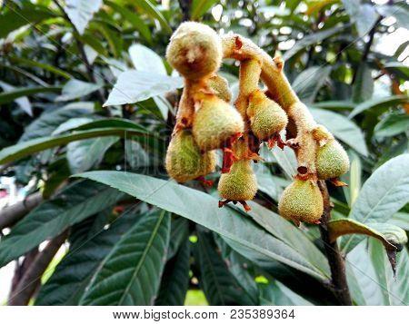 Loquat Green Fruits (eriobotrya Japonica) On Tree In Winter. Medlar Ancient Fruit Rich In Vitamins,