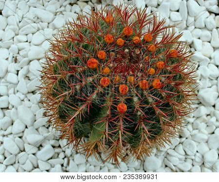 Round Shaped Cactus Succulent On White Pebble Background. Top View Cactus Thorns And Buds. Round Cac