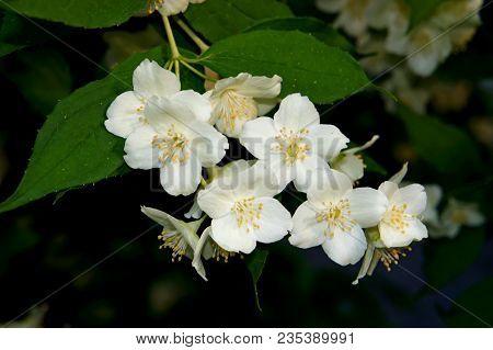 Jasmine Flower Branch. Close-up Of Jasmine Flowers In A Garden. Jasmine Flowers Blossoming On Bush I
