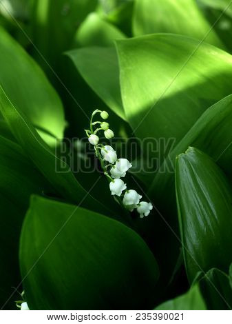Lily Of The Valley Or May-lily. Natural White May-lily Background Blooming Lily Of The Valley On Gre