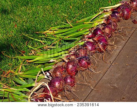 Harvest Of Red Onion On Wooden Floor Background And Grass. Lot Of Colorful Violet Onion And Tops Har