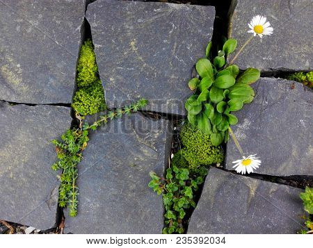 Flowering White Daisy Flower And Moss Green Plants On Brick Cobble Stone Floor. Closeup Of Cute Dais