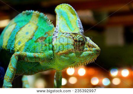 Veiled Chameleon (chamaeleo Calyptratus)  Close-up In Zoo. Madagascar Endemic Panther Chameleon Macr