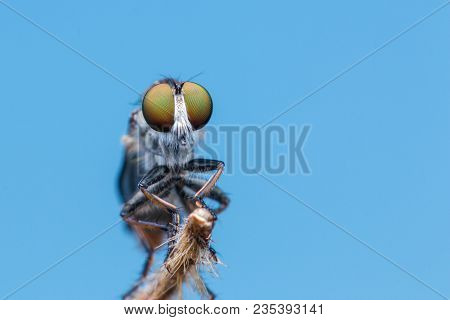 Robber Fly / Close-Up of the beautiful Robber Fly (selective Focus)
