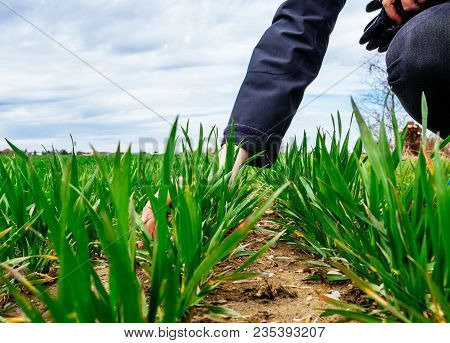 View From Low Angle Of Young Agronomist Agriculture Woman Biologist Inspecting The Wheat Plant Harve