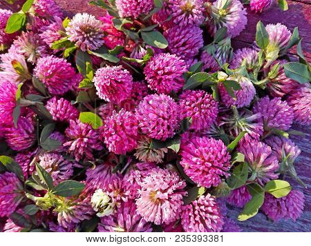 Clover Flowers. Pink Flower Clover On Red Cracked Wooden Pattern Background. Medicinal Herb Clover F