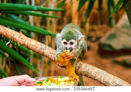 One Common Squirrel Monkey (saimiri Sciureus) On Tree Branch. Squirrel Monkey With Mango In Mouth. L