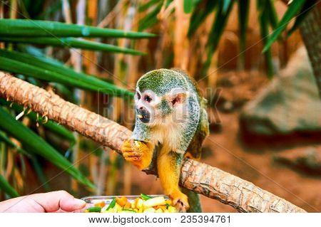 One Common Squirrel Monkey (saimiri Sciureus) On The Tree Branch. Squirrel Monkey With Mango In Mout