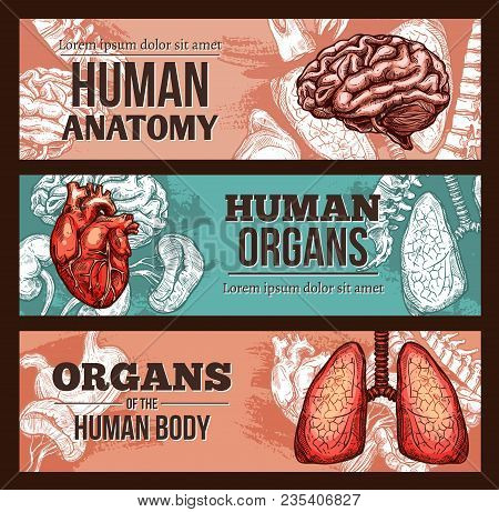 Human Organ Anatomy Sketch Banner Set With Internal Body Parts And Bones. Lungs, Liver And Stomach,