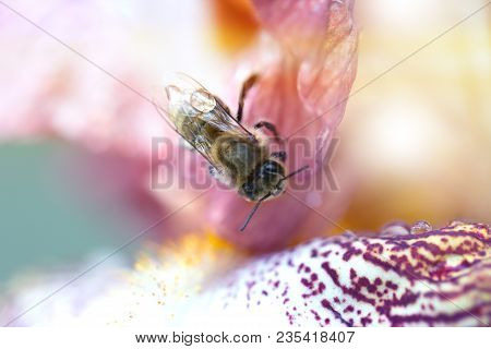 Closeup Flower With Bee. Honey Bee On A Flower Closeup. Closeup Iris Flower With Bee. Meadow In May