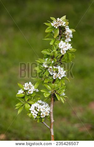Pear Blossom In Spring. White Beautiful Blooms.