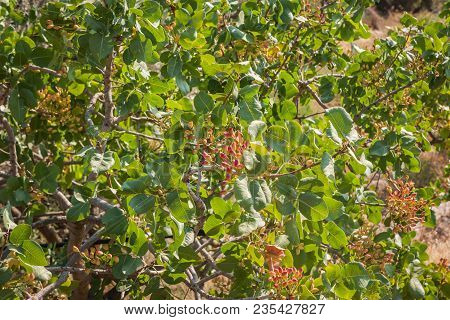 Image Of Pistachios On A Branch Of A Tree, Aegina, Greece
