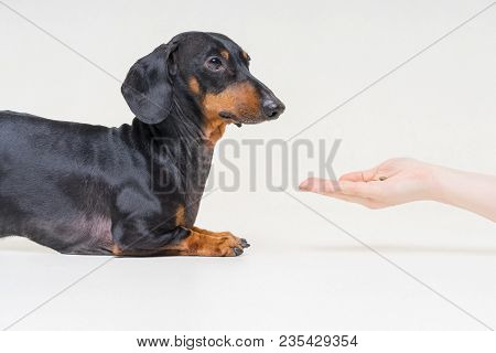Hand Owner Feeding The Dog Breed Dachshund, Black And  Tan On Gray Background