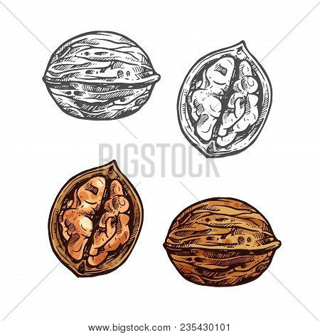Walnut Fruit Sketch Of Whole Nut And Kernel. Opened Nutshell Of Walnut With Brown Nut Isolated Icon