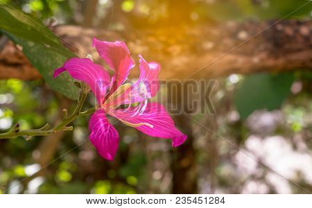 Blooming Of Red Bauhinia Purpurea Flower In Garden With Sunlight, Orchid Tree Flower.
