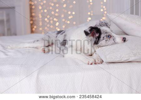 Australian Shepherd Aussie, 3 Months Old, Sitting On The Bed, White Bedding, Flashlights