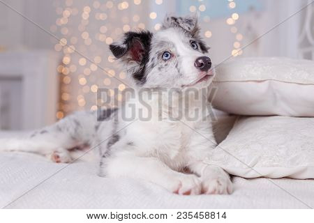 Australian Shepherd Aussie, 3 Months Old, Sitting On The Bed, White Bedding, Flashlights