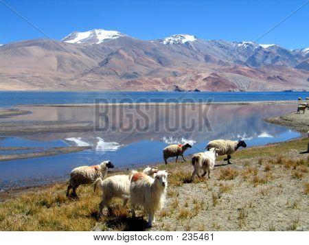 Sheeps At Himalayas