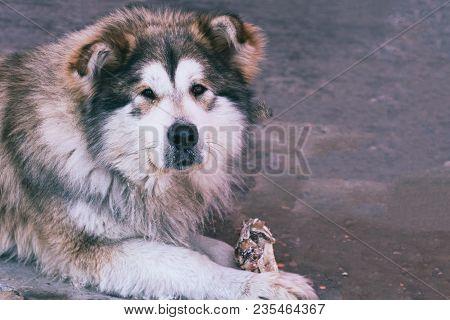 Portrait Of A Lying Big Dog Of A Mongrel