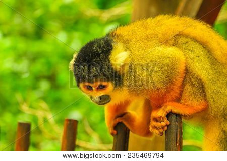 Bolivian Squirrel Monkey. Orange-brown Monkey In The Forest, Saimiri Boliviensis Species Living In S