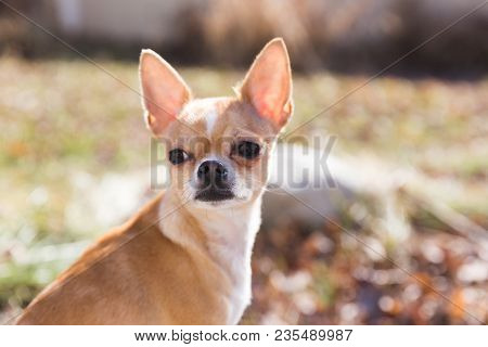 Fawn And White Colored Chihuahua Sitting In Yard, Looking Back With Ears Perked.