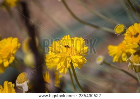 Bee Feeding On A Yellow Daisy Flower In Spring Time.