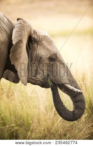 Young adult elephant enjoys some green shoots of grass in the grasslands of the Masai Mara, Kenya.