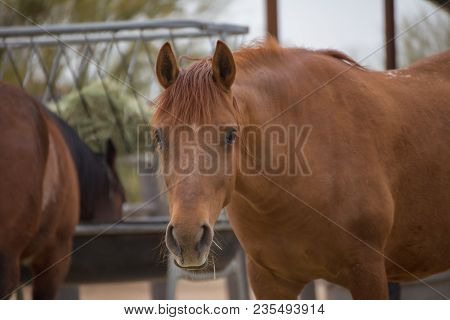 Brown-colored Adult Horse Standing In A Corral Near Feeding Station And Other Horse.
