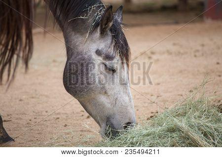 Gray Or Dapple Gray Horse Feeding On Hay Over Sandy Ground.