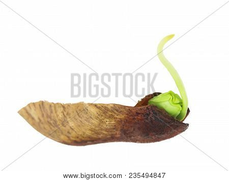 A Photo Of Maple Germination From The Seed In Spring. Isolated On White. A Swan Silhouette. Green Ma