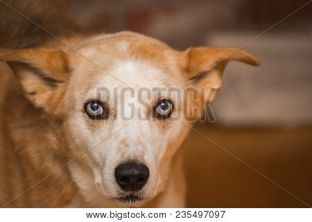 Adult Dog With White And Tan Fur And Light Blue Eyes Staring At Camera With Neutral Expression.