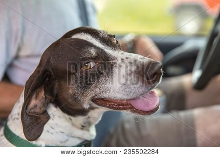 German Shorthaired Pointer Purebred Dog Sitting Next To A Man In A Car, With A Happy Expression On H
