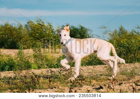 Walking Puppy Of Russian Wolfhound Hunting Sighthound Russkaya Psovaya Borzaya Dog Outdoors