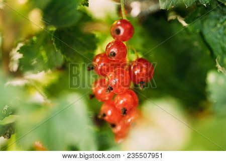 Fresh Ripe Red Currant Branch. Growing Organic Berries. Ripe Currant In Fruit Garden. Redcurrant Or