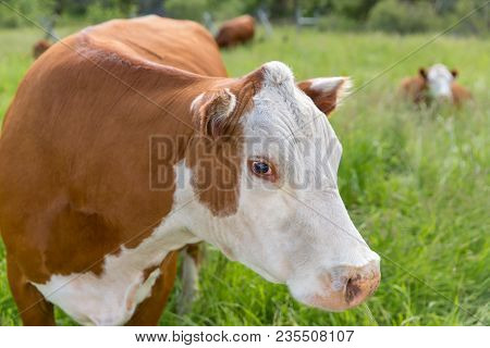 Close Portrait Of Large Cow With Brown And White Fur (hereford Cattle). Cow Is Standing In Tall, Gre