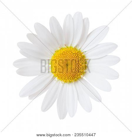 Close-up of Chamomile isolated on white background. Ox-Eye Daisy.