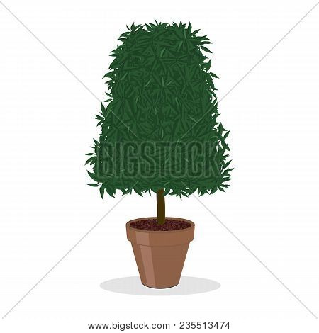 Clipped Bush. A Plant Trimmed Into Pyramidal Shape. Decorative Tree Growing In The Flower Pot. Bush