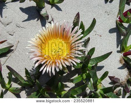 Beautiful Flower On White Sand Beach In Tunisia