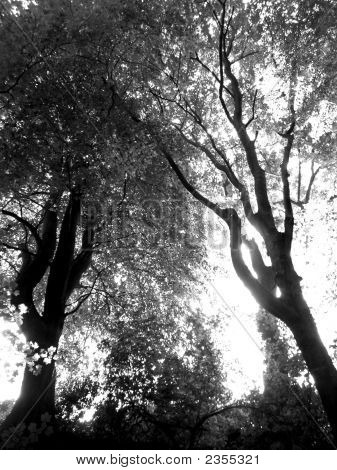 Trees In Silver