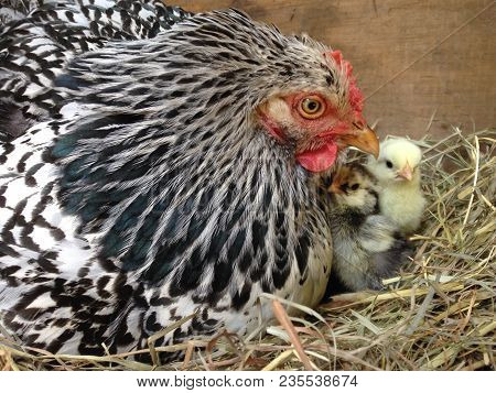 A Mama Cochin Hen Chicken On Her Nest With Her Yellow And Black Baby Chicks