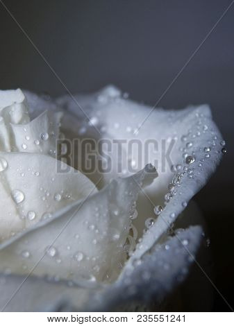 White Rose Roses Abstract Droplets Water Droplet