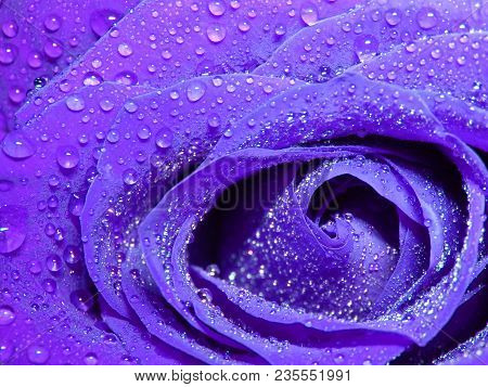 Wet Purple Rose Roses Droplets Droplet Water Flower Flowers