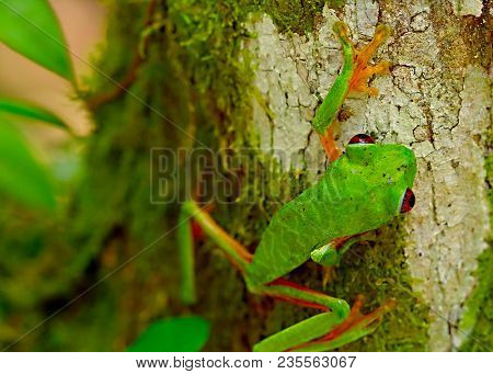 Red Eyed Tree Frog, Agalychnis Callydrias Ready To Jump. A Tropical Animal From The Rain Forest Of C